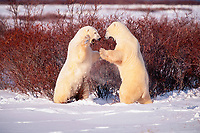 male polar bears play-fighting, Ursus maritimus, Hudson Bay, Manitoba, Canada, polar bear, Ursus maritimus