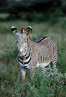 Grevys Zebra, Samburu National Reserve
