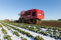 26-1-2021 Contractors lifting sugar beet on a frosty morning in Lincolnshire <br /> ©Tim Scrivener Photographer 07850 303986<br />      ....Covering Agriculture In The UK....