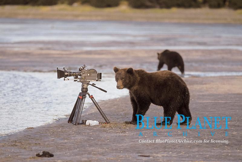 brown bear, Ursus arctos, grizzly bear, Ursus horribilis, curious cub checks out a filmmakers camera, Katmai National Park on the Alaskan peninsula, USA