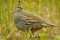 Female California Quail (Callipepla californica), also known as the California Valley Quail or Valley Quail.