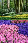 Spring flower displays dominated by hyacinths Keukenhof Flower Gardens, Lisse, near Amsterdam, The Netherlands.