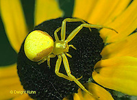 CS04-012a Crab Spider or Goldenrod Spider on Black-eyed Susan Flower - Misumena vatia.