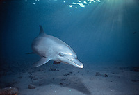 Wild Bottlenose Dolphin, Tursiops truncatus, swimming along sandy seabed, Nuweiba, Egypt, Red Sea., Northern Africa