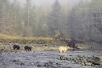 spirit bear, kermode, black bear, Ursus americanus, mother with cubs fishing for salmon, in the rainforest of the central British Columbia coast, Canada