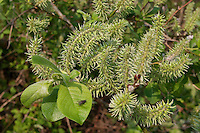 Sal-Weide, Salweide, fruchtend, Früchte, Frucht, Weide, Salix caprea, Goat Willow, Pussy Willow, Sallow