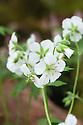 Geranium maculatum var. albiflorum, mid May. A white-flowered form of native North American wild geranium or cranesbill.