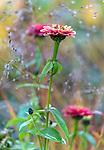 Vashon-Maury Island, WA: Zinnia close-up with dew drops on autumn moor grass
