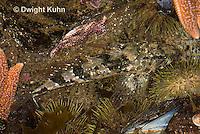 TP18-546z  Grubby Sculpin Fish camouflaged in Tidepool, Myoxocephalus aenaeus