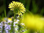 Dandelion in Garden, New England, USA