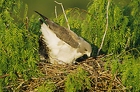 White-tailed Hawk, Buteo albicaudatus,adult on nest in Mesquite tree, Welder Wildlife Refuge, Sinton, Texas, USA