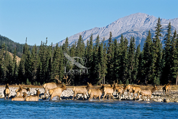 Rocky Mountain Bull Elk (Cervus elaphus) and his harem wade river.  Northern Rockies, fall.