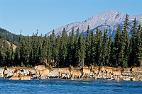 Rocky Mountain Bull Elk (Cervus elaphus) and his harem wade river.  Northern Rockies, fall.