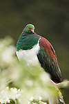 New Zealand Pigeon (Hemiphaga novaeseelandiae), Kapiti Island, North Island, New Zealand