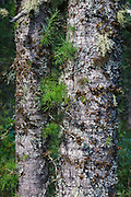 Tamarack Larch - (Larix laricina) during the summer months Albany, New Hampshire USA.