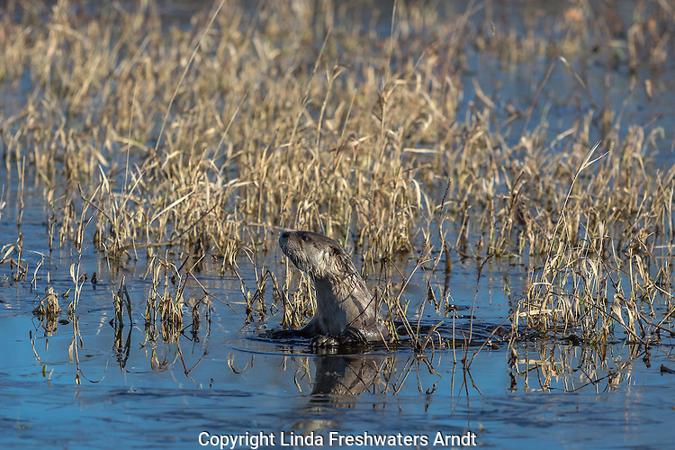 Northern river otter in Wisconsin