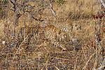 Cheetah (Acinonyx jubatus) three year old male brothers stalking, Kafue National Park, Zambia