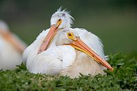 American White Pelican (Pelecanus erythrorhynchos) on nest. Lake County, Oregon. April.