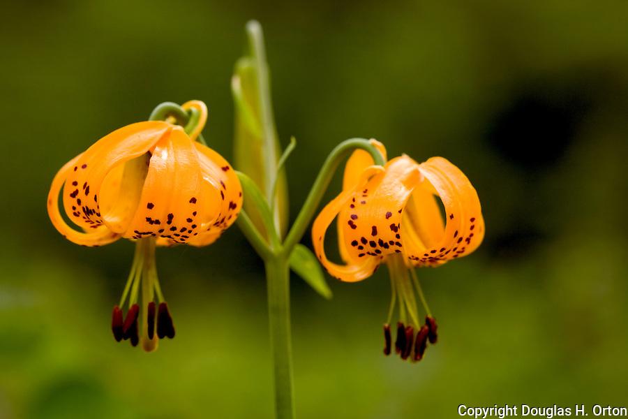 Rare triple flower tiger lily, lilium columbianum, Chewuk River, Washingtion Chewuch River