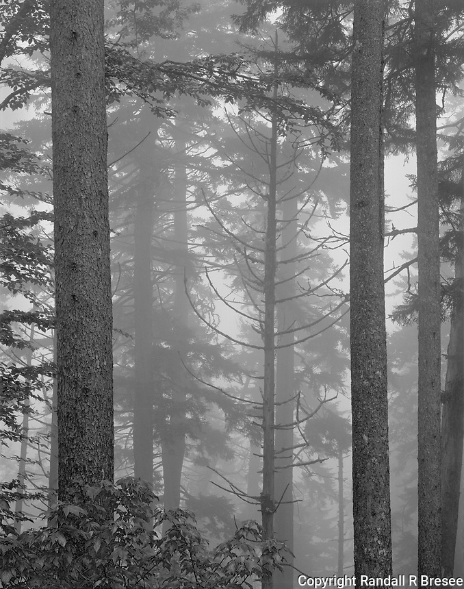 """""""Trees in Fog""""<br /> Great Smoky Mountains National Park, Tennessee<br /> <br /> This photo was taken in a heavy afternoon fog at high elevation on Clingmans Dome Road in the Great Smoky Mountains NP."""