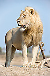 Adult male African Lion (Panthera leo) on the banks of the Luangwa River. South Luangwa National Park, Zambia.