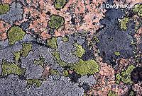 LI08-004b  Crustose lichen - growing on rock
