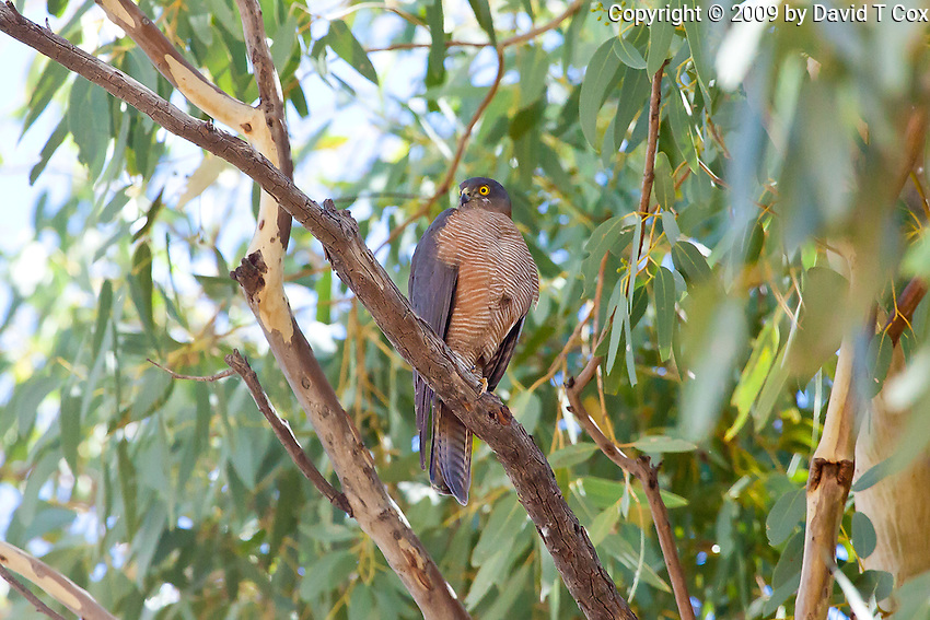 Collared Sparrowhawk, East McDowell Mtns, NT Outback, Australia