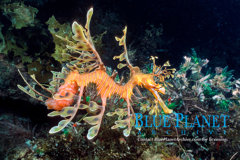 leafy sea dragon, Phycodurus eques, male carrying eggs attached to underside of tail, South Australia, Pacific Ocean