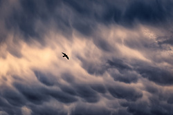 While driving through Arizona's deserts I saw an interesting display of mammatus clouds overhead, and pulled over to capture a bird in flight as a storm brewed in the distance.