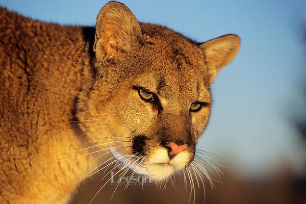 Mountain lion or cougar (Felis concolor).