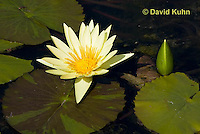 0904-0806  Yellow Hardy Water Lilies, Nymphaea spp. © David Kuhn/Dwight Kuhn Photography.