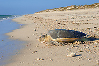 Australian flatback sea turtle, Natator depressus, endemic to Australia and southern New Guinea, female crawls down dune to return to sea after nesting, Australia