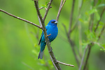 Male indigo bunting in a northern Wisconsin woodland.
