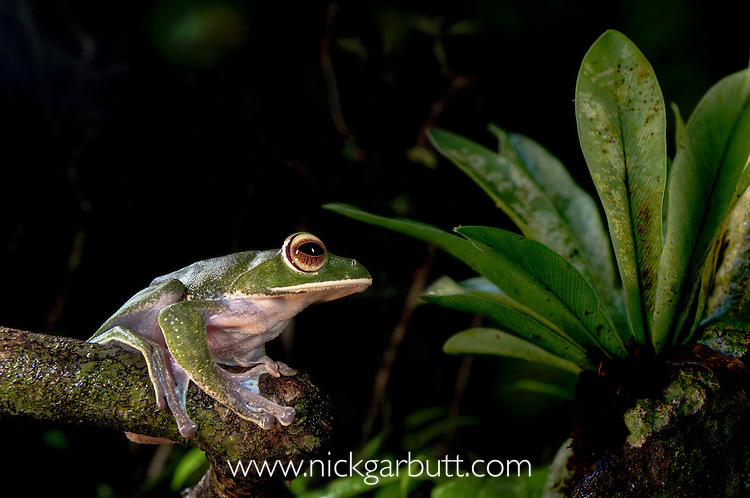 White-lipped Tree Frog (Boophis albilabris) in rainforest canopy. Marojejy National Park, Madagascar.