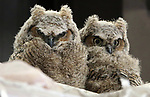 Great Horned owl babies nest in a barn in north Carson City, Nev., on Tuesday, April 18, 2017. <br />Photo by Cathleen Allison/Nevada Photo Source