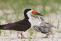 Adult Black Skimmer (Rynchops niger) and begging chick7. Harrison County, Mississippi. July.