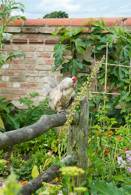 Chicken on fence in backyard with free range in garden and pathway Cochin bantam rooster