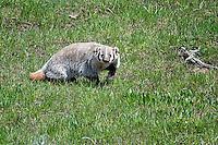 Badger, Yellowstone National Park