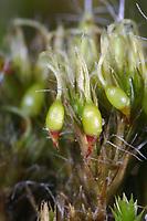 Kaktusmoos, Haartragendes Krummstielmoos, Langhaariges Krummstielmoos, Campylopus introflexus, Dicranum introflexum, heath star moss