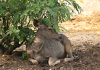 Stock image of a beautiful deer sitting pretty ,elegantly in the shade of a small tree and gazing keenly at something in the forest