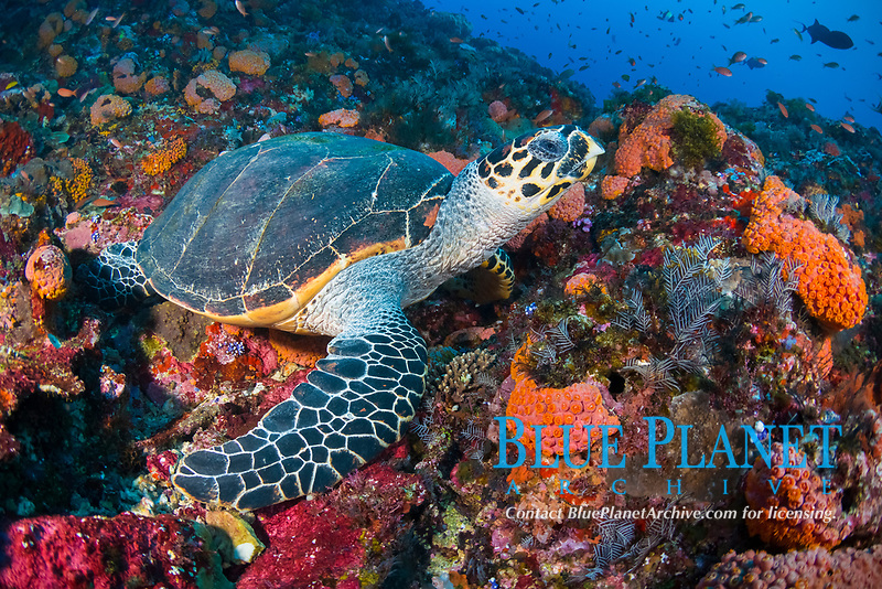 A Hawksbill Turtle, Eretmochelys imbricata, rests on a coral-covered substrate, Komodo Marine National Park, Indonesia, Pacific Ocean