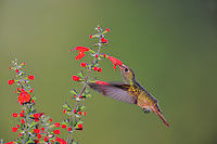Buff-bellied Hummingbird (Amazilia yucatanenensis), female feeding on Tropical Sage (Salvia coccinea), Dinero, Lake Corpus Christi, South Texas, USA