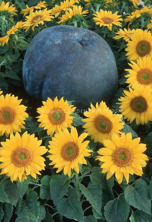 Dwarf Sunflowers with apple ornament