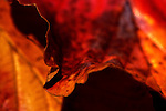 Close up of detail in fall leaves with intentional shallow focus, Washington Park Arboretum, Seattle.