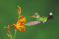 Purple-bibbed Whitetip (Urosticte benjamini), young male feeding from flower,Mindo, Ecuador, Andes, South America