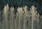 Aspen trees, New Mexico