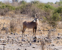 Roan, Chobe NP, Botswana