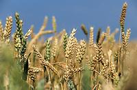 GERMANY, wheat field / DEUTSCHLAND, Weizenfeld