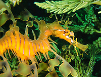 leafy sea dragon, Phycodurus eques, swimming amongst jetty pylons, Rapid Bay, South Australia, Southern Ocean