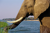 African Elephant bull feeding/using its trunk. (Loxodonta Africana) Africa.